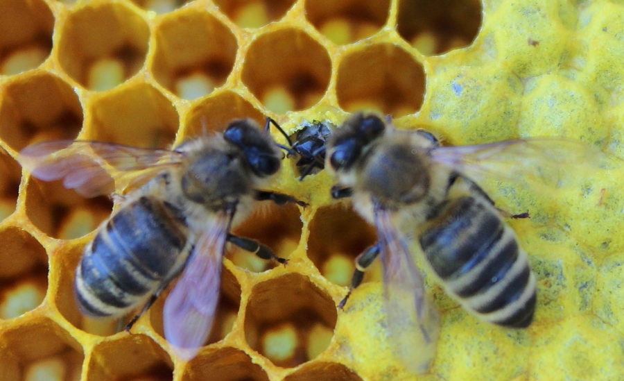 Młoda pszczoła