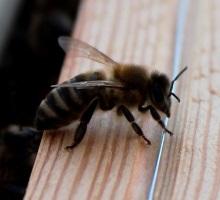 Termoregulacja pszczół