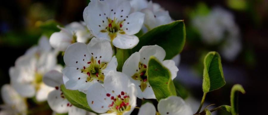 Kwiaty jabłoni