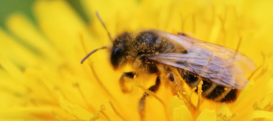 Pszczoła na mniszku