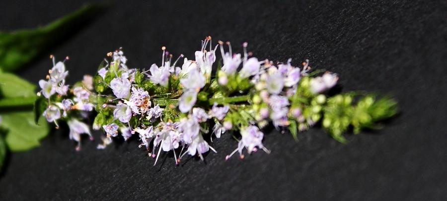 Mięta pieprzowa, kwiatostan