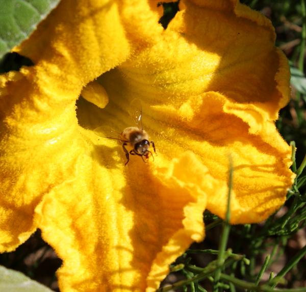 Kwiat dyni olbrzymiej