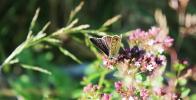 Motyl na kwiatach oregano