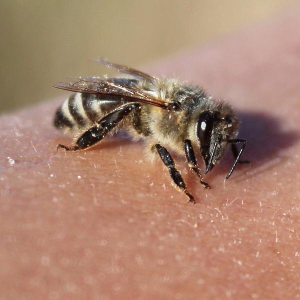 Czy pszczoły są pod ochroną?
