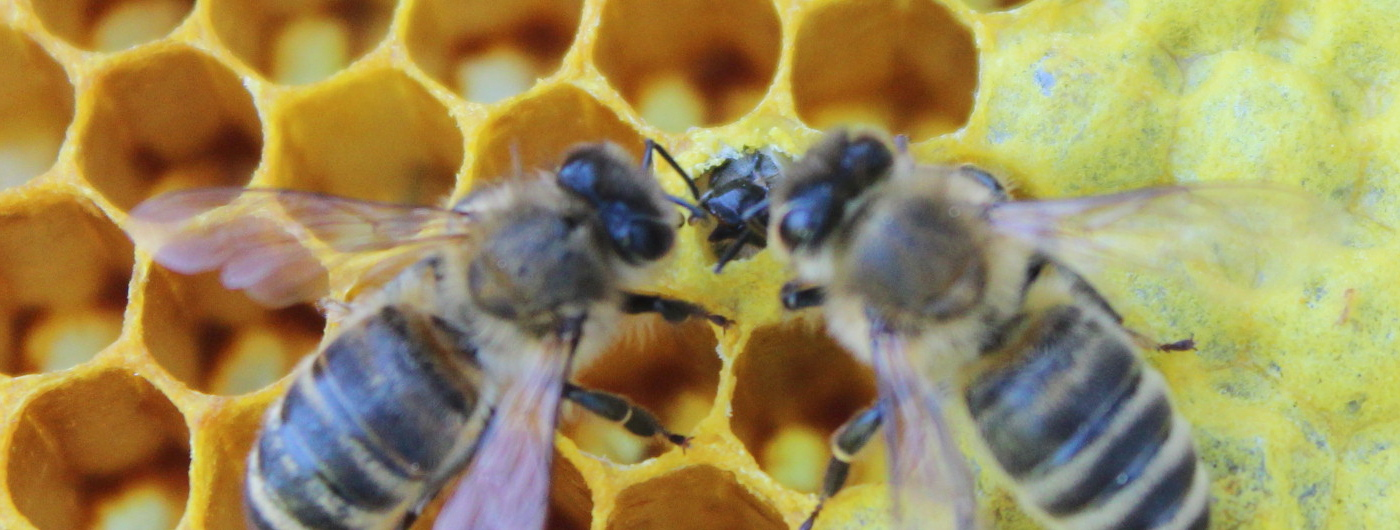 Mloda pszczola