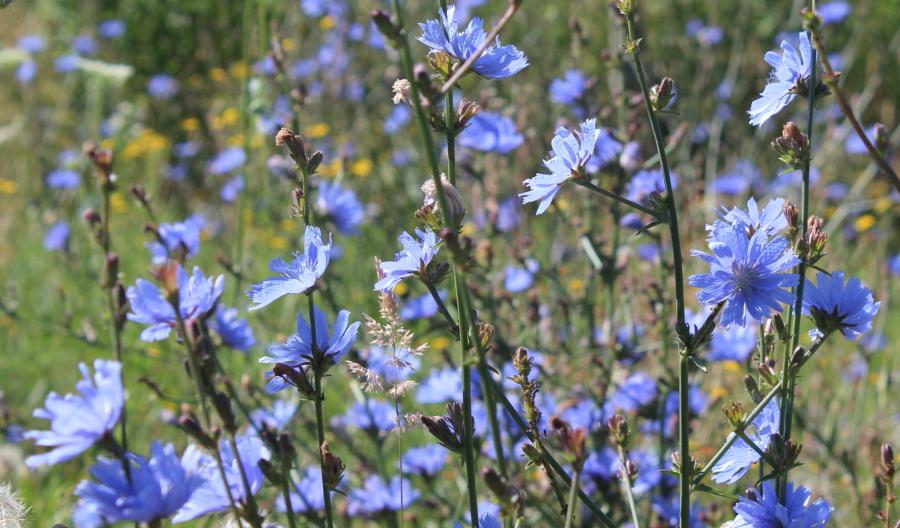 Niebieskie kwiaty polne