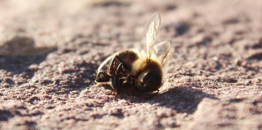 Martwa pszczoła