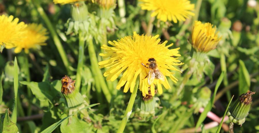 Mniszek pospolity, żółty kwiat na łące