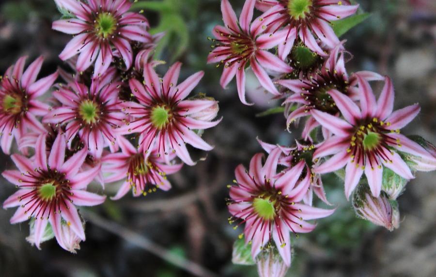 Kwiaty rojnika ogrodowego