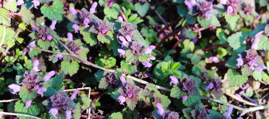 Kwiaty jasnoty purpurowej