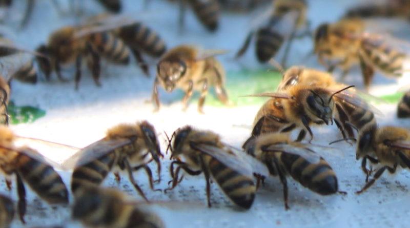 Choroby pszczoły miodnej