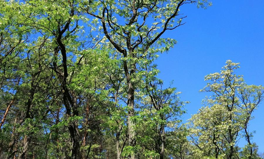 Robinia akacjowa, akacja, roślina inwazyjna