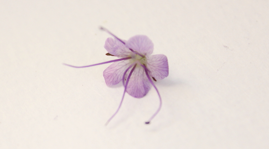 Pojedynczy kwiat facelii