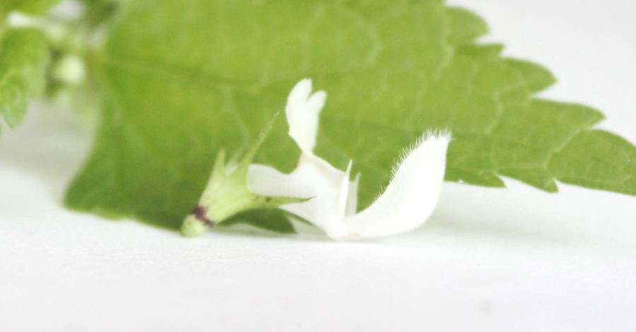 Kwiat jasnoty białej