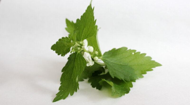 Jasnota biała, roślina miododajna