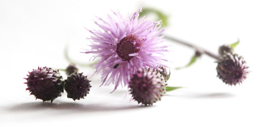 Kwiaty ostrożenia polnego